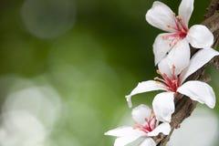 Fleur du Montana d'Aleurites Photographie stock libre de droits