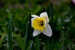 Fleur du narcisse Photographie stock