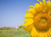 Fleur du soleil de plan rapproché Photos libres de droits