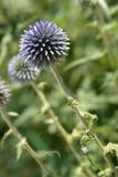 Fleur du sud de globethistle Images libres de droits