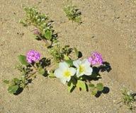 Fleur dunaire d'oenothère biennale images libres de droits