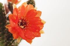 Fleur e de cactus Photos libres de droits
