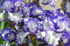 Fleur embaumée d'iris Photographie stock libre de droits