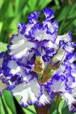Fleur embaumée d'iris Photos stock