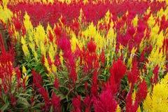 Fleur emplumée colorée de crête Images libres de droits