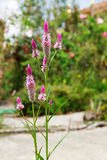 Fleur emplumée de crête dans le jardin Images stock