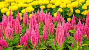Fleur emplumée rose de Celosia Photo libre de droits