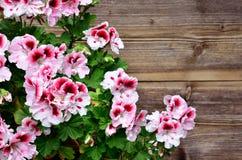 Fleur en bois de géranium Photos stock