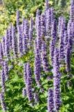 Fleur en bon état de fleur de Coréen (rugosa d'Agastache) photographie stock libre de droits