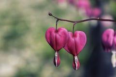 Fleur en forme de coeur rose Photo stock