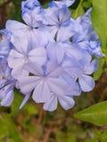 Fleur en Grèce Images stock