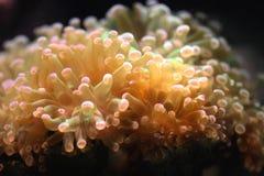 Fleur en gros plan d'anémone sous l'océan profond, anémone colorée magnifique d'écosystème de caméra de plongée à l'air photographie stock libre de droits