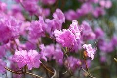 Fleur en gros plan de dauricum de rhododendron belle Image libre de droits