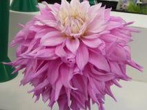 Fleur en lambeaux lilas de dahlia avec le centre crème photographie stock