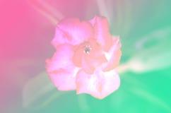 Fleur en pastel de nature de milieux de tache floue de ton Photo stock