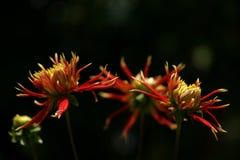 Fleur en Thaïlande Photo stock