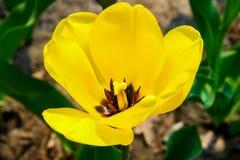 Fleur en verre d'abat-jour de tulipe jaune Images stock