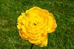 Fleur en verre d'abat-jour de tulipe jaune Images libres de droits