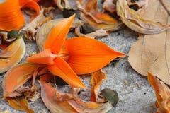 Fleur enfoirée de teck Photographie stock