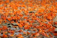 Fleur enfoirée de teck Image stock