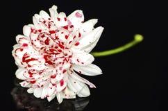 la fleur ensanglantée