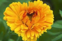 Fleur ensoleillée orange avec des pétales sur un fond vert sous forme de coeur images stock