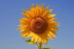 Fleur ensoleillée simple de Sun Images stock
