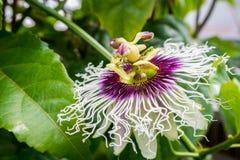 Fleur entièrement ouverte de passiflore comestible de passiflore images stock