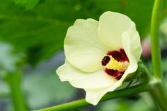Fleur esculentus de gombo ou d'abelmoschus photo libre de droits