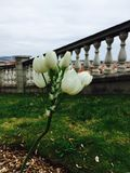 Fleur espagnole Photo stock