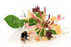 Fleur et abeille de chèvrefeuille Photo stock