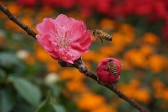 Fleur et abeille de pêche Photos libres de droits