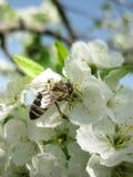 Fleur et abeille de prune Sur un plan rapproché de fleur de prune d'une abeille Photographie stock