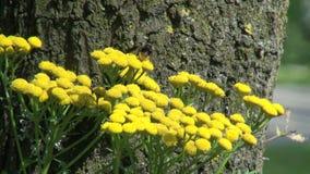Fleur et abeille jaunes en Hollande clips vidéos