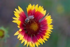 Fleur et abeille simples de marguerite d'été Image libre de droits