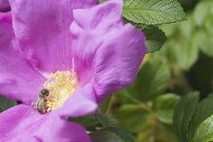 Fleur et abeille simples de marguerite de ressort Images libres de droits