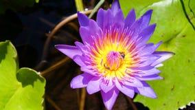 Fleur et abeilles de lotus en gros plan sur le dessus Photo stock