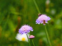 Fleur et abeilles de scabieuse de champ (arvensis de Knautia) Photos stock