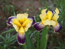 Fleur et abeilles de scabieuse de champ (arvensis de Knautia) Image libre de droits
