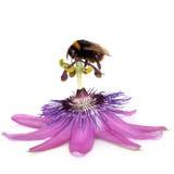 Fleur et bourdon de passion Photographie stock