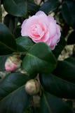 Fleur et bourgeon Images stock