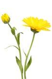 Fleur et bourgeon jaunes de calendula Photo stock
