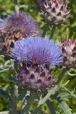 Fleur et bourgeons de cardon Images libres de droits