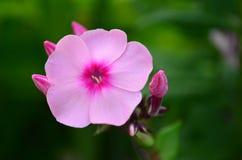 fleur et bourgeons roses d'un phlox grand Images libres de droits