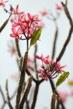 Fleur et branchement de Frangipani Photo libre de droits
