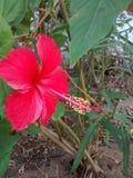 Fleur et x28 ; chappathi& x29 ; Images libres de droits