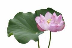 Fleur et feuille de lotus sacré Images stock