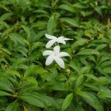 Fleur et feuilles d'Inda Photos stock
