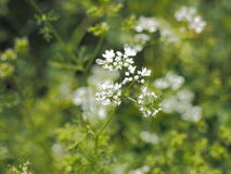 Fleur et feuilles de Cilantro photographie stock