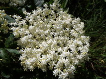 Fleur et feuilles de fleur de sureau Image libre de droits